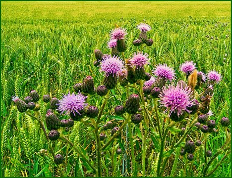 WHEAT FIELD WITH THISTLES-12X9.JPG